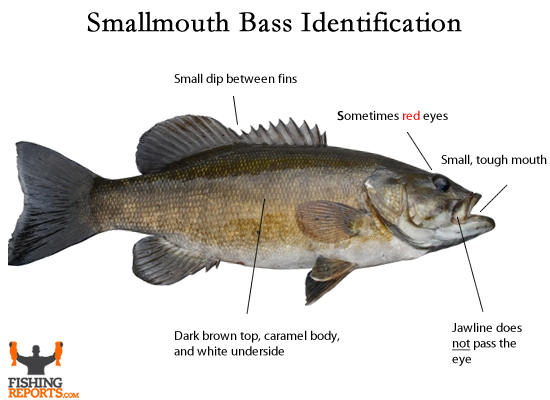 Diagram Of The Largemouth Bass - Product Wiring Diagrams •